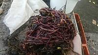 Красный калифорнийский червь для разведения, маточное поголовье (семья)