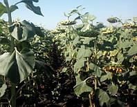 Семена подсолнечника Гаярд, фото 1