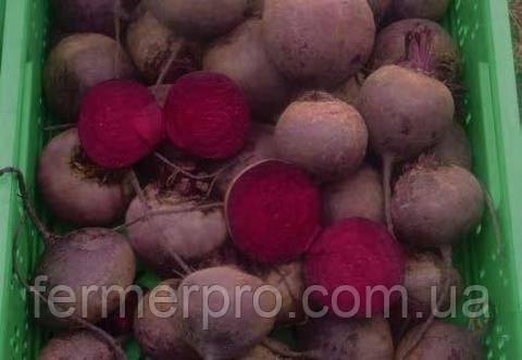 Семена свеклы Кестрел F1 \ Kestrel F1 50.000 семян Sakata