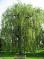 Кора Вербы(ивы)- лекарственная трава (45гр)