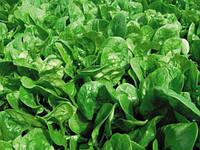 Семена шпината Аполло F1 \  Apollo F1 50.000 семян Sakata