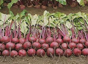 Семена свеклы Пабло F1 5000 семян (Бейо/Bejo) — среднепоздний гибрид (105-108 дней), круглая, столовая., фото 2