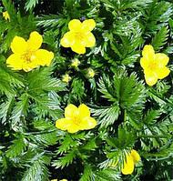Гусиные лапки, Лапчатка гусиная -лекарственная трава (30гр)