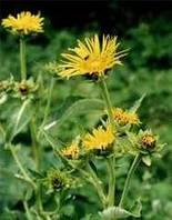 Девясил-лекарственная трава (50гр)