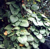 Диоскорея кавказская-лекарственнная трава (20гр)