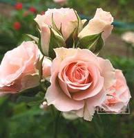 Роза розовая спрей / ОКС