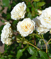 Роза белая спрей / ОКС
