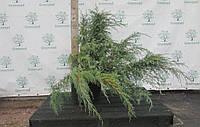 Можжевельник средний Пфитцериана Глаука (Pfitzeriana Glauca),1,0-1,1 метра