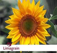 Семена подсолнечника Limagrain ЛГ 5635 урожай 2016 года.