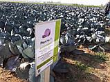 Семена капусты Рескью F1, 2500 семян, фото 4