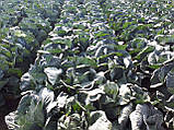Семена капусты Сторидор F1, 2500 семян, фото 5