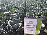 Семена капусты Адаптор F1, 2500 семян, фото 2