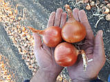 Семена лука Боско F1, 250 тыс.семян, фото 8