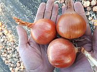 Семена лука Боско F1, 250 тыс.семян
