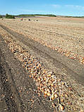 Семена лука Боско F1, 250 тыс.семян, фото 10