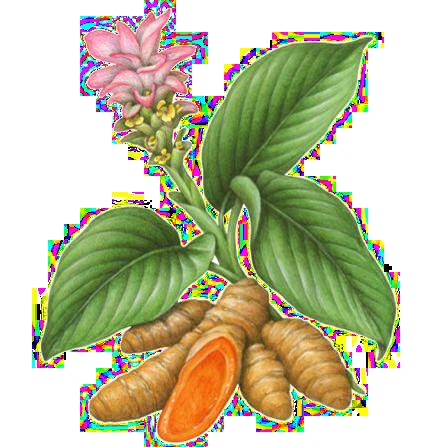 особенности выращивания куркумы в домашних условиях