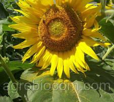 Семена подсолнечника Богдан (стандарт)