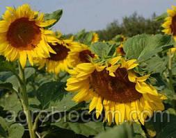 Семена подсолнечника Антей (стандарт)