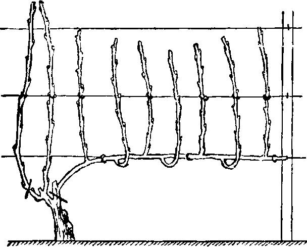 фрпмипрвание кустов винограда метод Гюйо