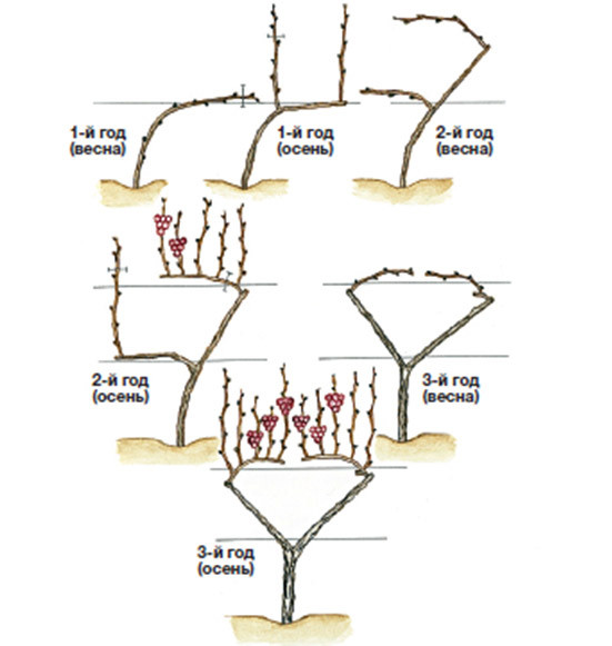 формирование винограда по методу Токарева