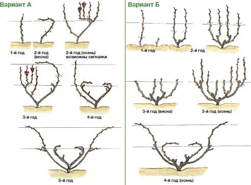 Варианты выведения 4-рукавного веера куста винограда