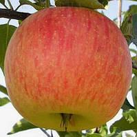 Саджанці яблуні ЦЕЛЕСТІ (дворічний) літнього терміну дозрівання