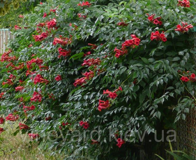 Кампспс бордовый, цветение