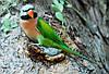 Розовогрудый кольчатый попугай ( Psittacula alexandri)