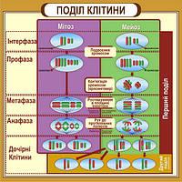 """Стенд """"Поділ клітини"""" для кабінету БІОЛОГІЇ"""