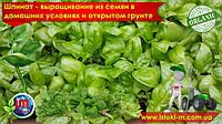 Выращивание шпината из семян на подоконнике и в открытом грунте