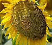 Семена подсолнечника НС Адмирал (НС Х 195) (элит)