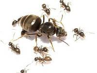 Муравьи Lasius NigerКоролева + кладка + муравьи 11-5