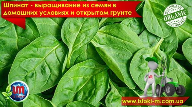 шпинат выращивание из семян в домашних условиях и открытом грунте