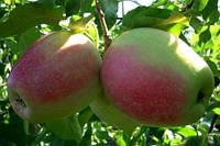 Саджанці яблуні ОРФЕЙ (дворічний) зимового терміну дозрівання