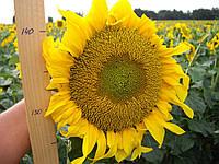 Семена подсолнечника Дунай (стандарт)