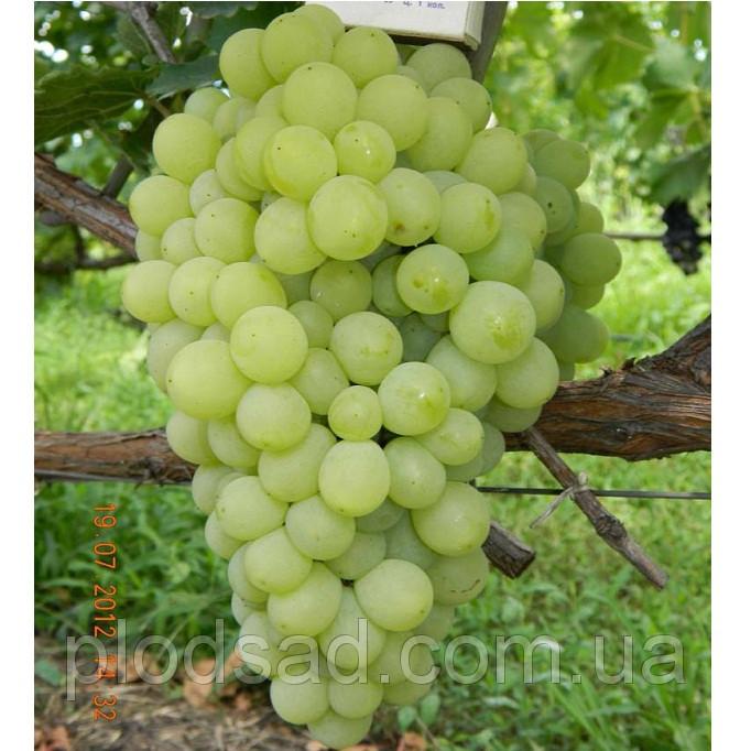 Виноград Кишмиш Принцесса