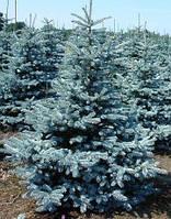 Ель колючая Ольденбург (Picea pungens Oldenburg)