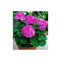 Пеларгония Мультиблум F1 лавандовая 5 семян Syngenta (перефасовано Vse-semena)