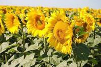 Семена подсолнечника НС Х 2652 (стандарт)