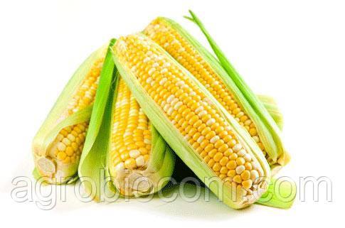 Семена кукурузы ЕС Поттер