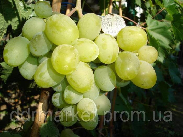 Описание и винограда подарок запорожью 21