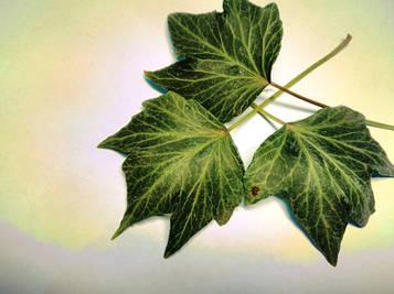 Плющ Green Pipple