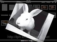 Продам кроликов породы - Белый Панон