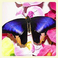 Живая тропическая бабочка Caligo atreus.