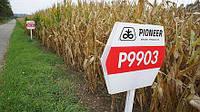 Семена кукурузы P9903 AQUAmax