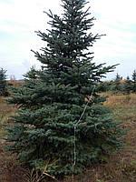Хвойные растения (ель, сосна) от 1 до 10 метров