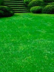 Газонна трава Посухостійка