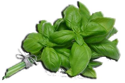 Как выращивать базилик на приусадебном участке в теплице и открытом грунте