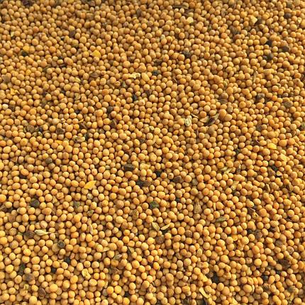 Семена горчицы микрозелень  , фото 2