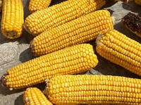 Семена кукурузы-Р9175AQUAmax